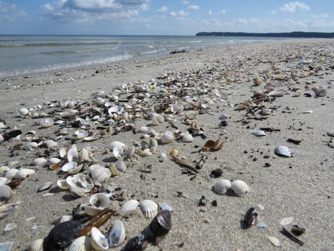 Rügen Strand Muscheln